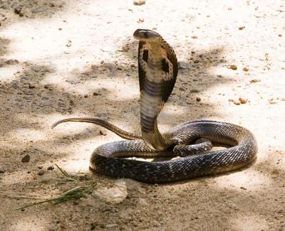 Schlangenfarm Cobra