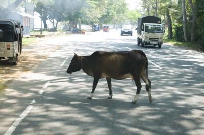 Kuh im Straßenverkehr