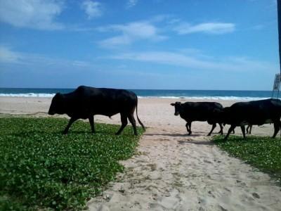 Kühe am Strand